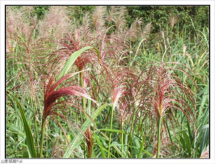 三芒耳稃草